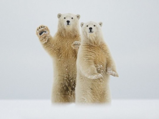 civilized-bears-waving-canadian