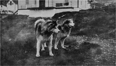 sled-dogs1
