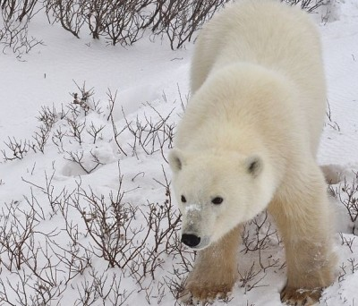 Canadian-polar-bear1