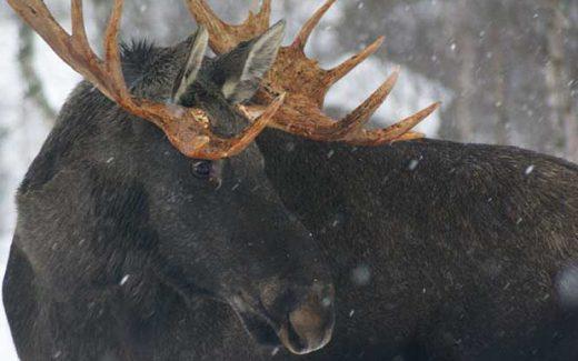 Elk-Norway-Mikkjel-Fonhus-trail